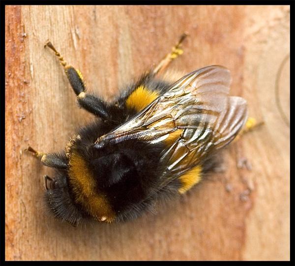 Bee Close-up by mttmwilson