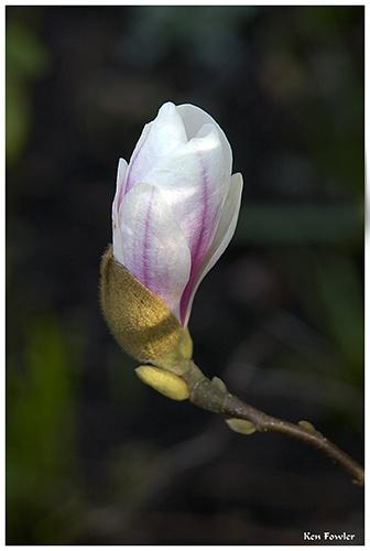 Magnolia by deeken
