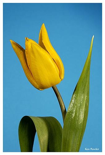 Tulip 1 by deeken