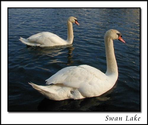 Swan Lake by silvina