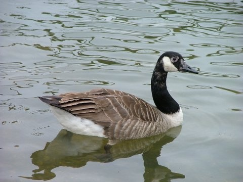 The Goose by speybay