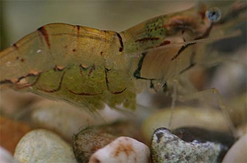 shrimp eggs by jsabmsc