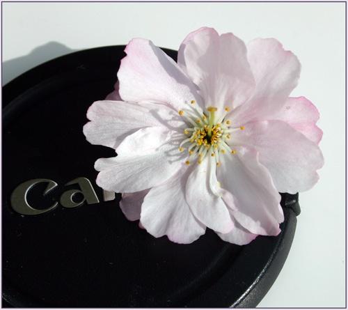 Cherry blossom time by harmony