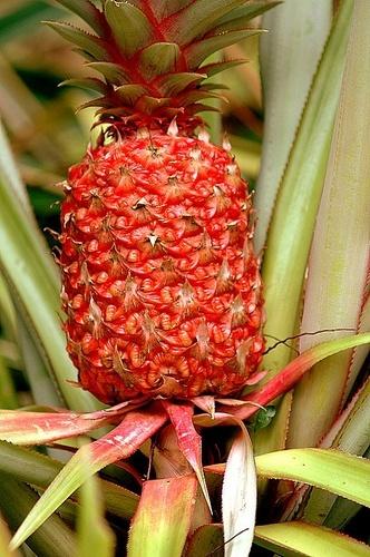 Pineapple by khanhnguyen