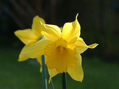 Daffodil by ian_w