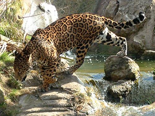 Jaguar 02 by ian_w