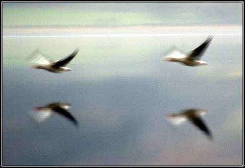 Geese by hsreid