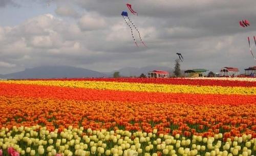 Tulip Fest by craignjulie