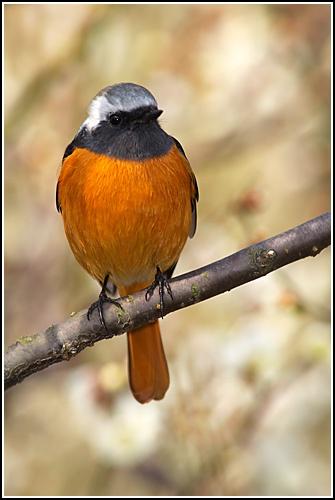 Daurian Redstart by leead
