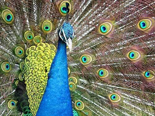 Peacock by jon1169