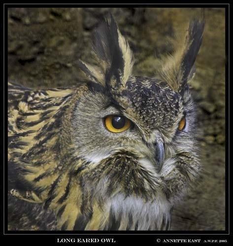 Long Eared Owl by aeast