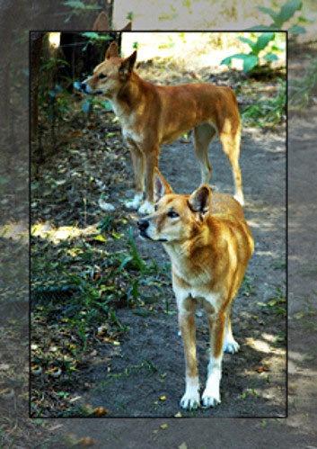 Australian Dingo Dogs by photofootprints