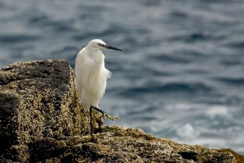 Little Egret by nil1106