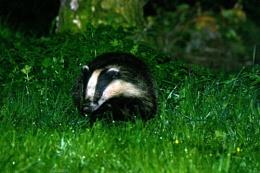 Night Shot (badger)