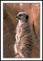 Meercat Perched