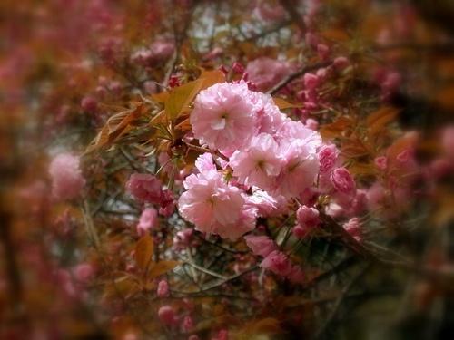 Sakura by khanhnguyen