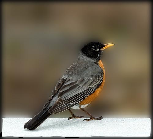 American Robin by glazzaro