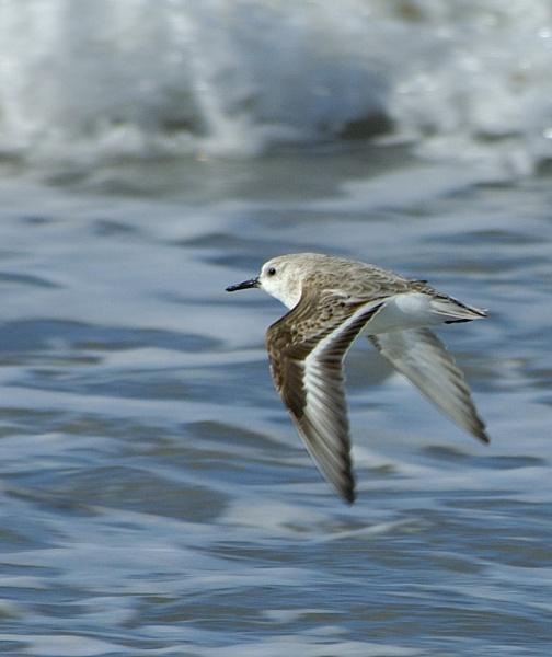Sanderling by davefolky