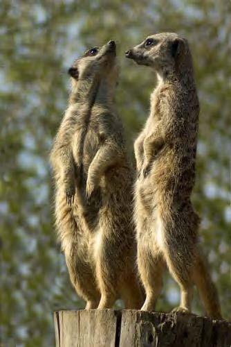 C - Meercat Lookouts by ReidFJR