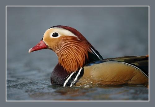 Mandarin Duck (Male) by sferguk