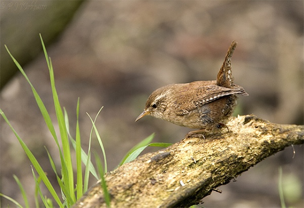 Wren by philwhynd