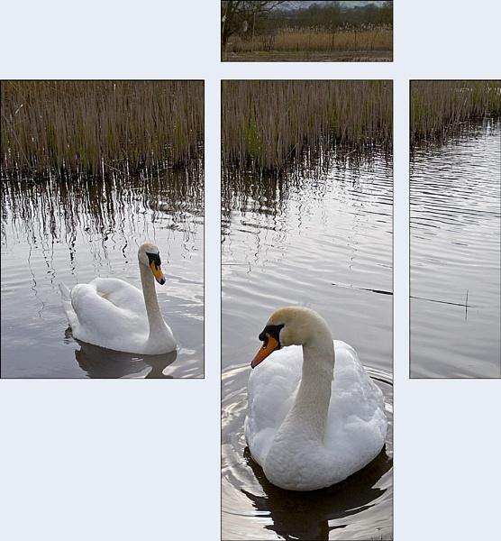 Swans by AdrianTurner