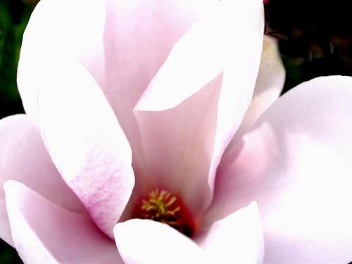 Magnolia by NorahF
