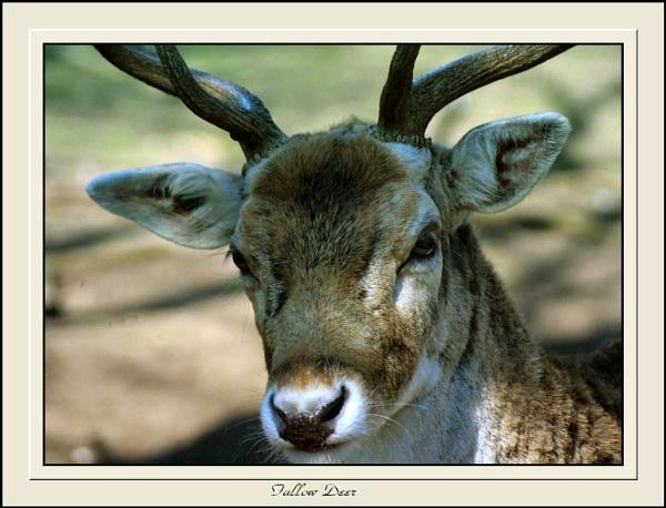 Fallow Stag Deer. by Jimbob