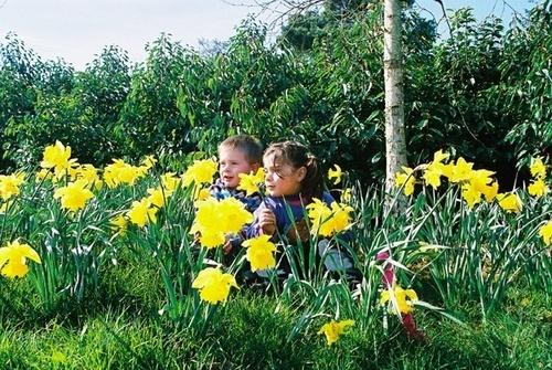 Daffodils by charley_a