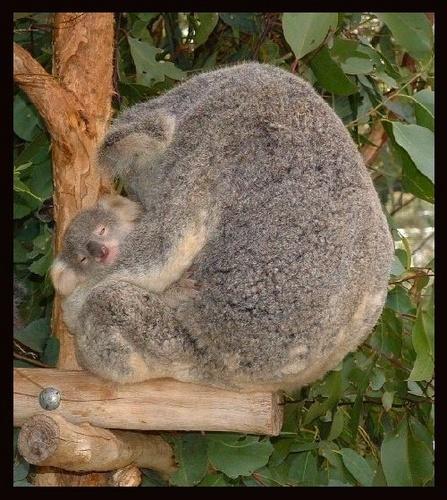 Koala-Crush by ianuk2003