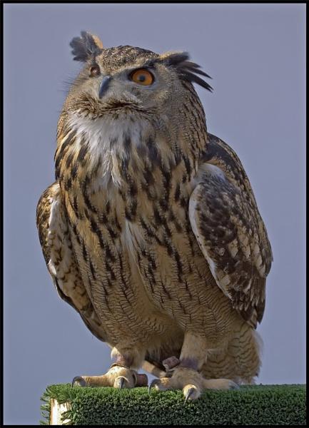 Owl 2 by mttmwilson