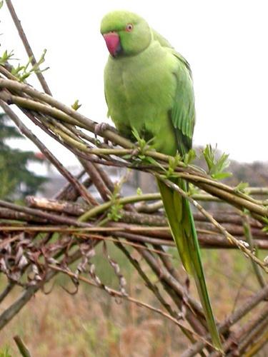 Parakeet by NorahF