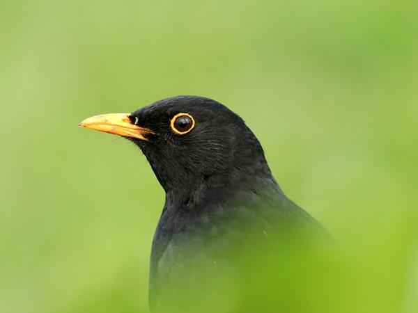 Blackbird by John_Wannop