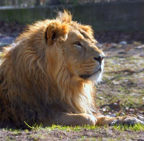 Lion King by denka