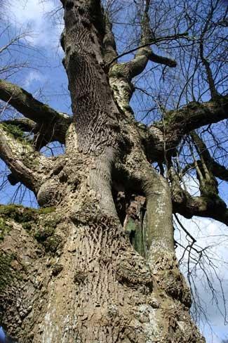 Gnarled Old Tree by njsmith