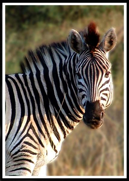 Zebra Browsing by Joanie