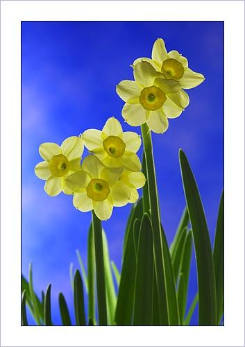 Narcissus by Ewan