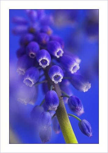 Grape Hyacinth by Ewan