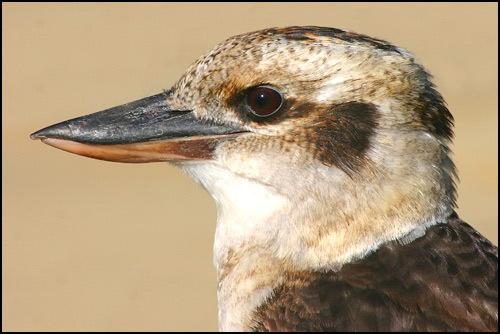 Kookaburra by michellec
