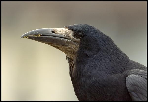 Crow by mttmwilson