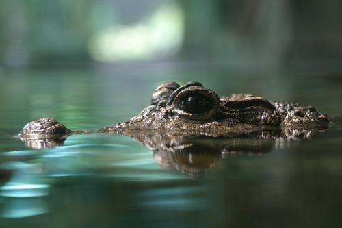 Croc by v_equals