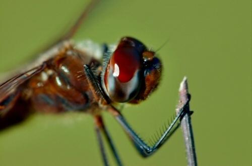 Dragonfly_Closeup by ustaosma
