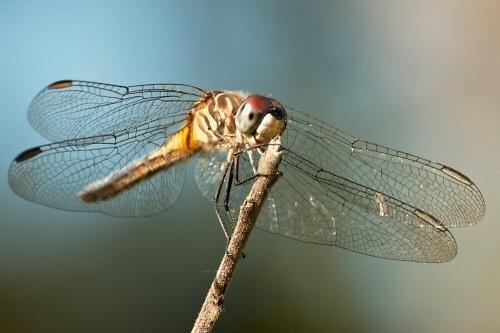 Dragonfly by ustaosma