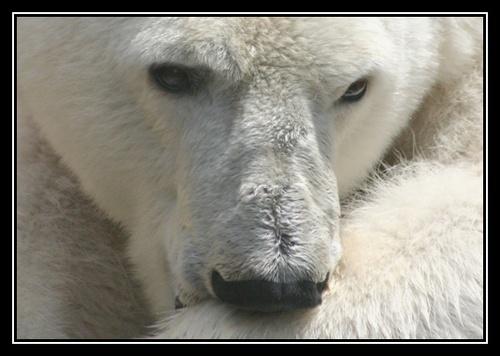 Polar Bear Itch by liparig