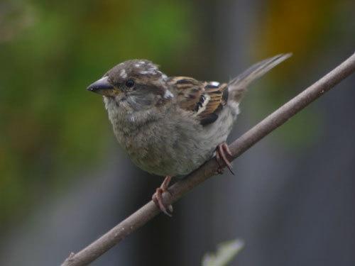 Sparrow by Ben_G