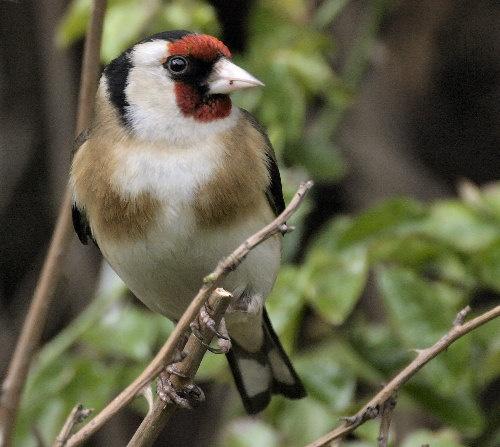 Goldfinch by karenpics