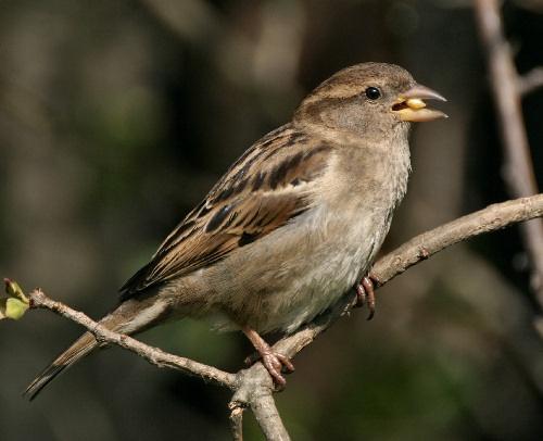 Female Tree Sparrow by karenpics