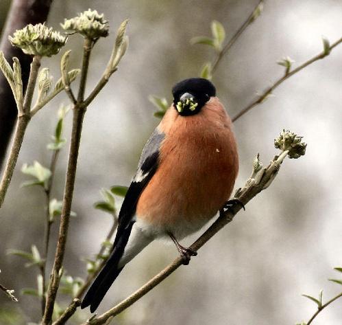 Male Bullfinch by karenpics