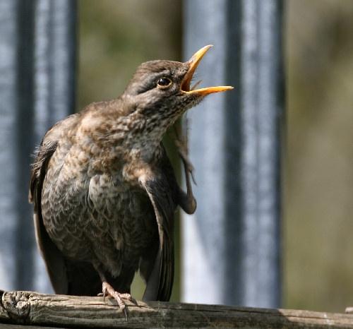 Female  Blackbird by karenpics