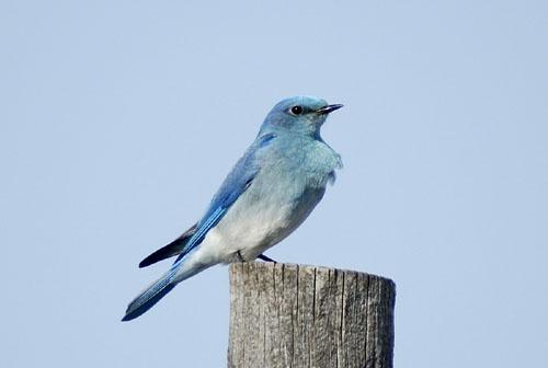 Mountain Bluebird by Danno